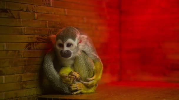 opička v kleci