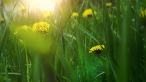 Dandelions in the meadow