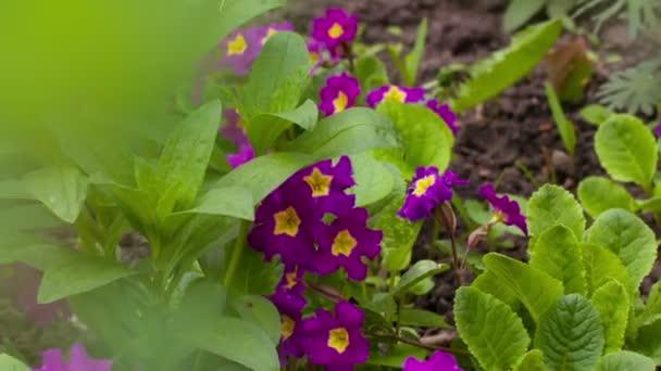 Fialová Flowerd Petunie