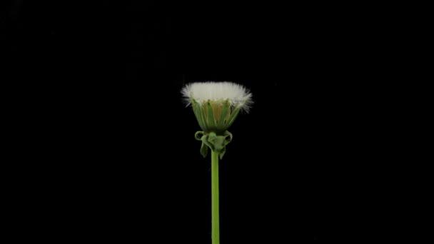 Pampeliška květy ve tmě