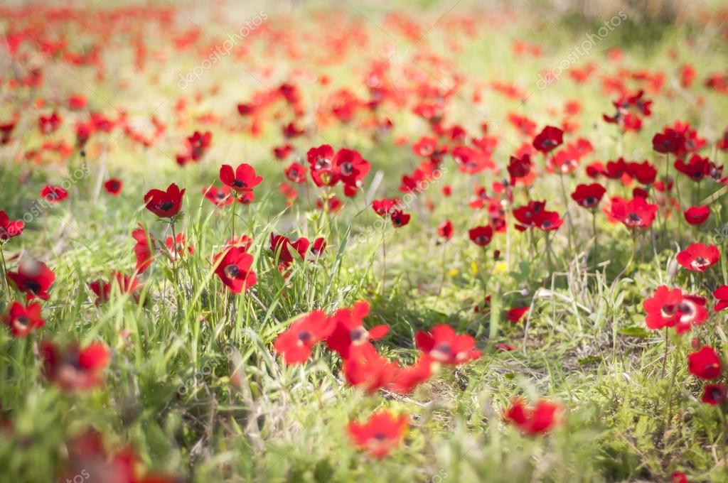 Red anemones' blossom in the Negev. Flowering spring stock image.