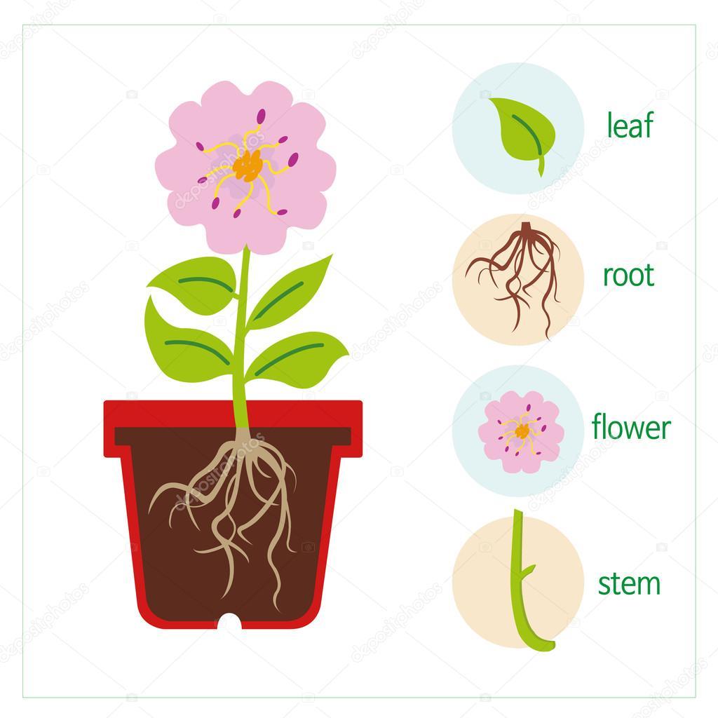 Schema D Une Plante Image Vectorielle Jakinnboaz C 91427700