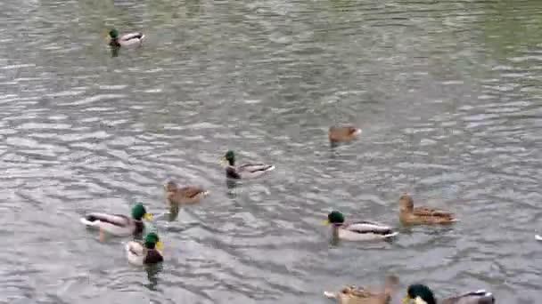 ente schwimmen in einem teich