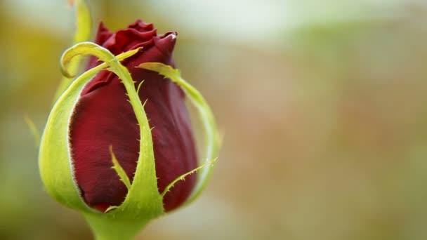 červená růže květ