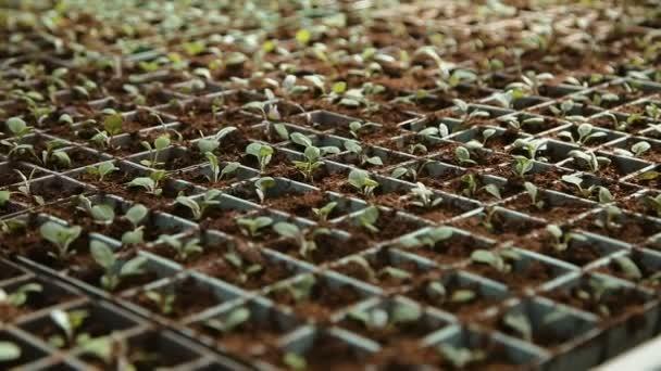 Growing seedlings in pots