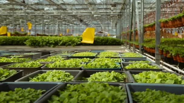 Pěstování sazenic ve sklenících a průmyslové