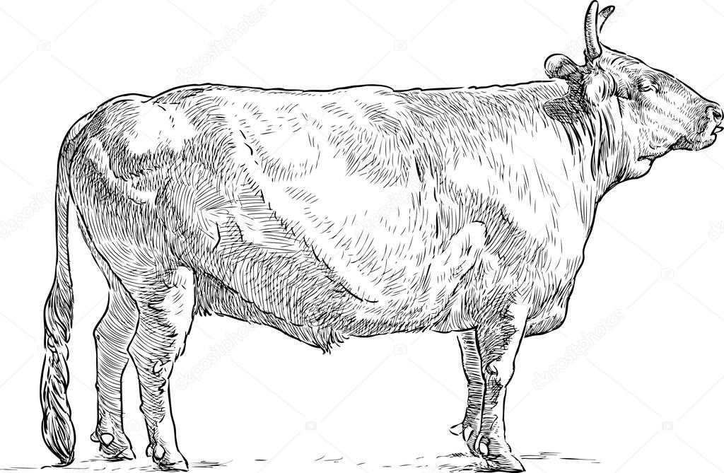 sketch of a bull