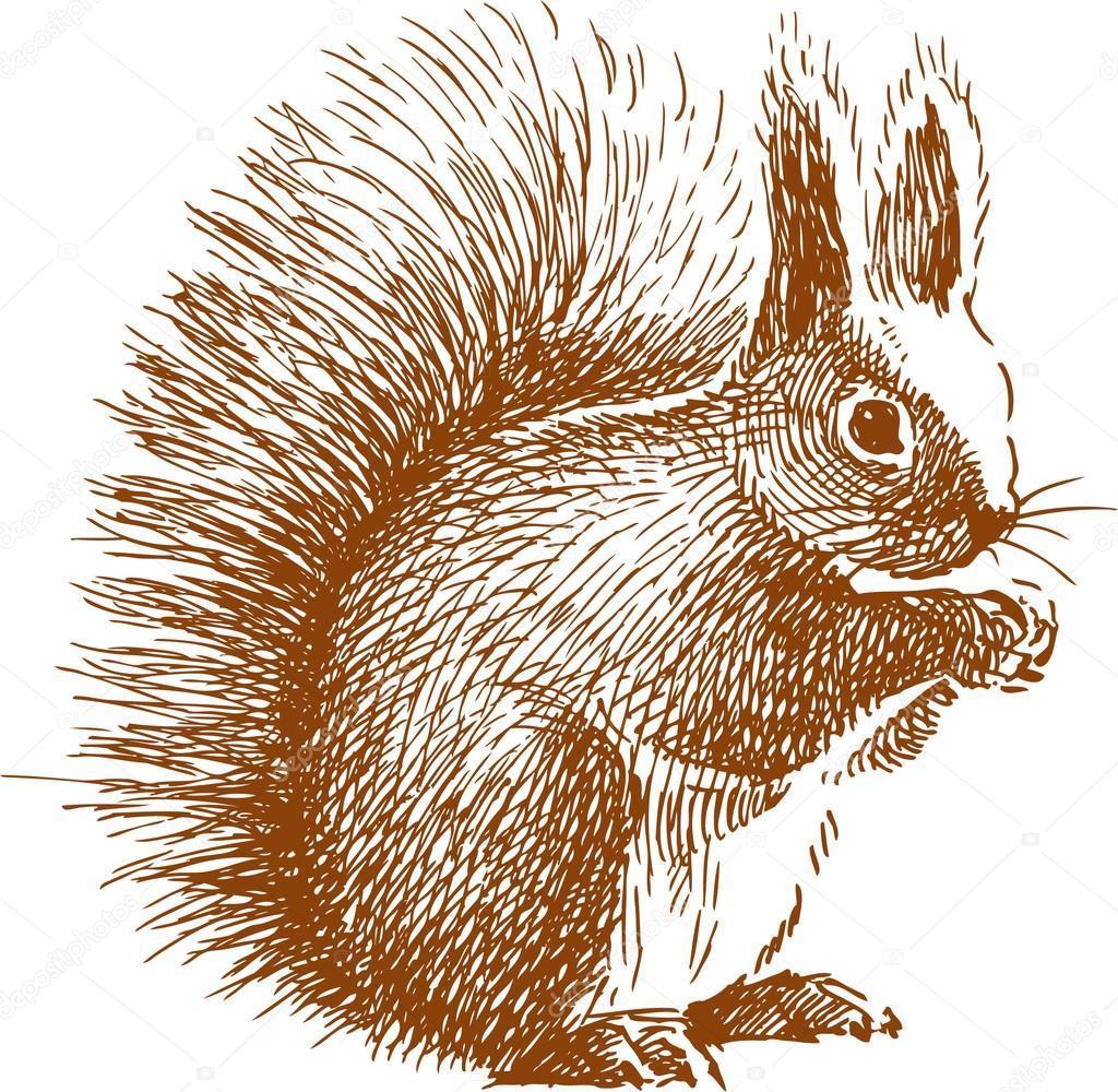 Flauschige Eichhörnchen Skizze Stockvektor Samakarov Mail Ru