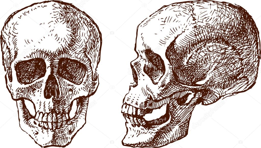 the vector drawing of a human skull in two foreshortening vector by samakarovmailru