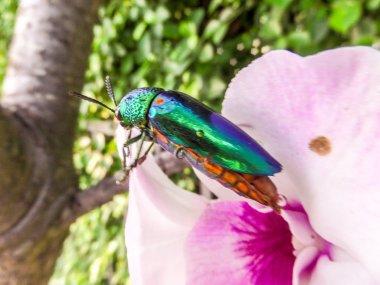 Jewel beetle on the tree