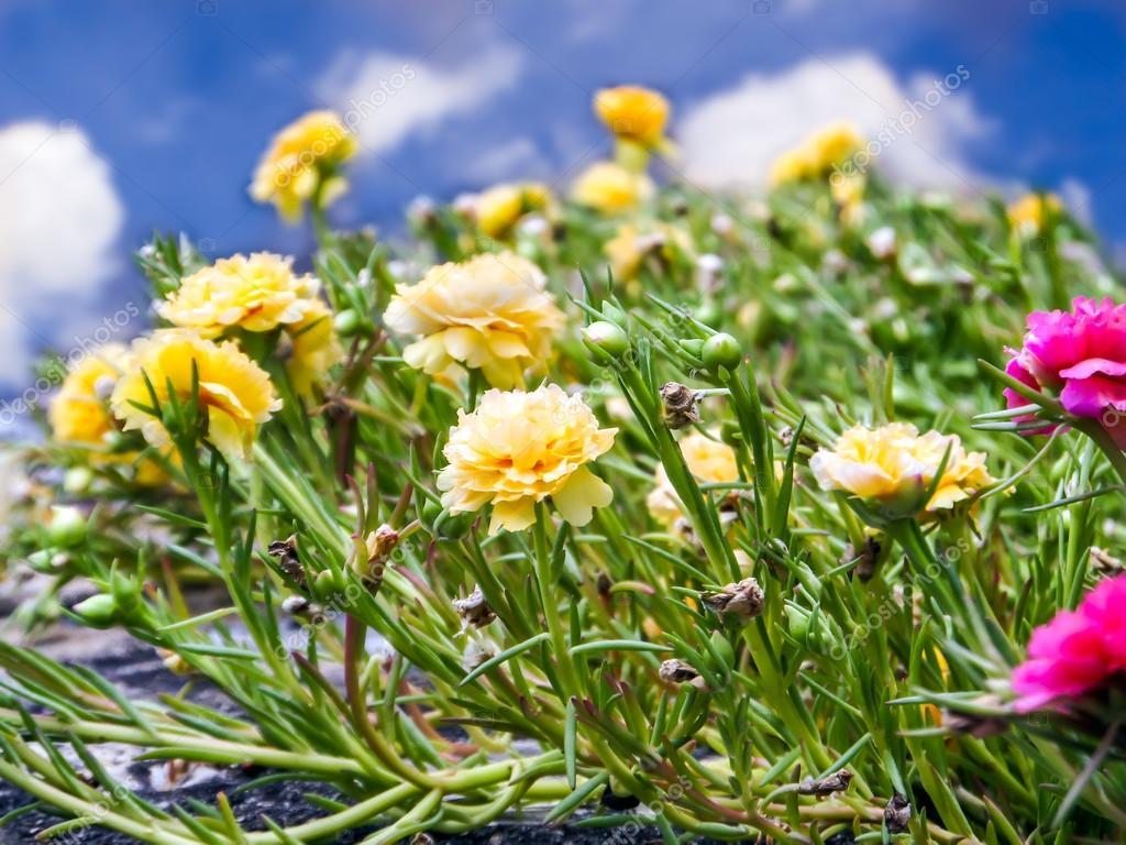 Fiori Gialli Yahoo.Hogweed Yellow Flower In Blue Sky White Cloud Stock Photo