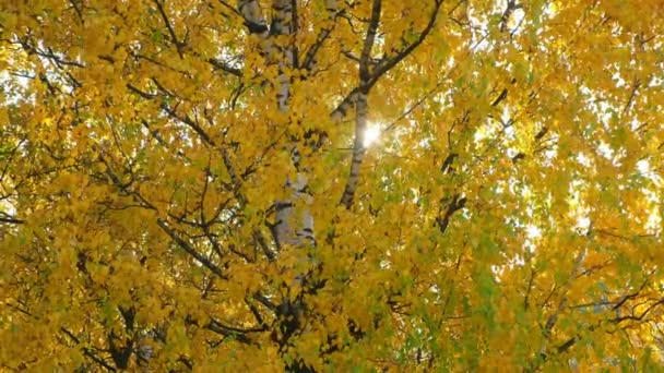 Golden, yellow and orange leaves on branches of birches in autumn season.
