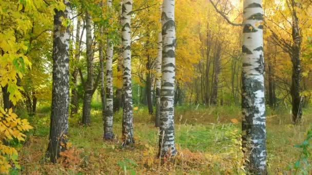 Falling yellow leaves from birches in autumn parks, beautiful view.