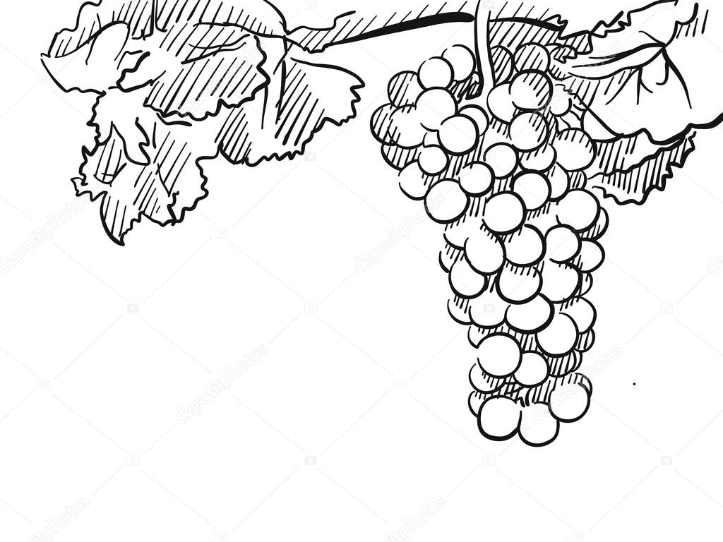 Szkic Ręka Wektor Winogron Grafika Wektorowa Mailhebstreitcom