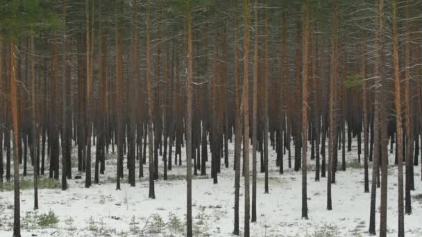 Snowfall in a red pine forest