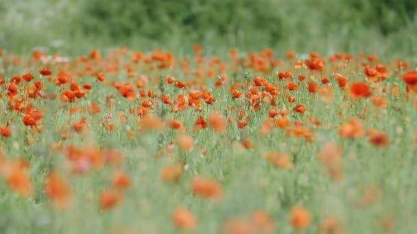 Makový květ louka