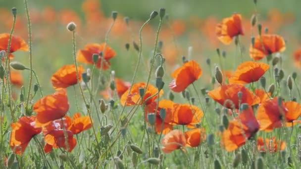 Poppy flower meadow