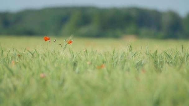 Makové květy v zeleném poli