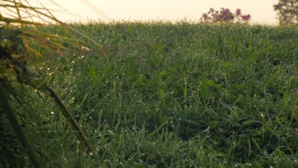 Rosa na zeleném trávníku při západu slunce