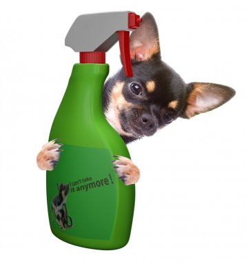 Cute chihuahua have problem with itch, isolated with white backgound