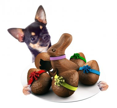 Cute Chihuahua dog have tasty dish between the legs with chocolate easter eggs, isolated  on white background
