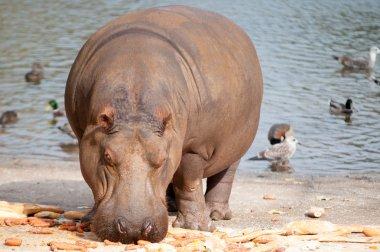 hipopotamo comiendo al sol