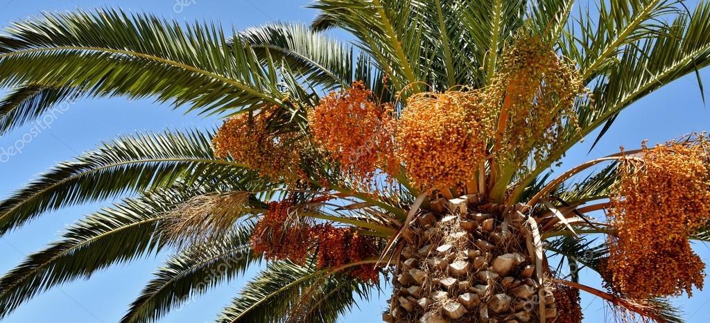 Palmier Dattier Photographie Lehmannw Hotmail Co Za C 99458600