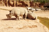 Photo rhinos standing close to a waterhole