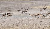 Animali nel Parco nazionale di Etosha