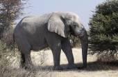 Detailní záběr slon africký