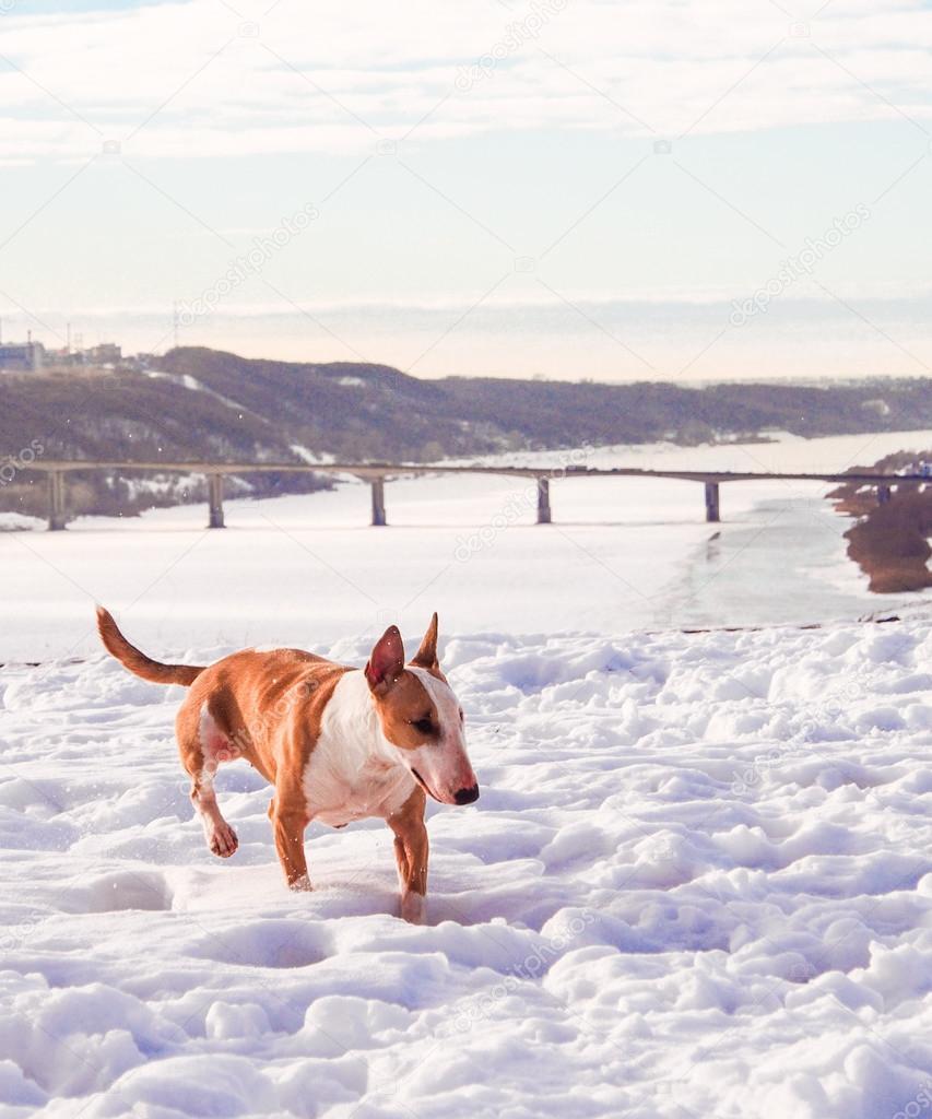 Bullterrier dog in winter park
