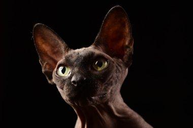 Sphynx cat portrait on black