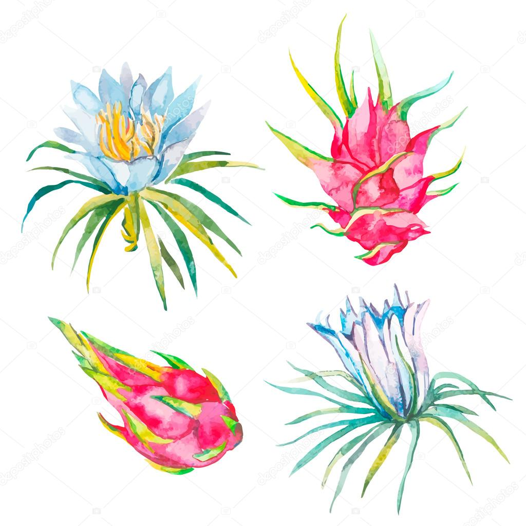 Pitaya. Vector illustration isolated. Tropical flower pitaya. Exotic fruit