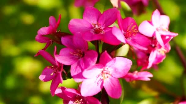 Růžové květy vosk třešeň kvetoucí jarní vítr, zblízka