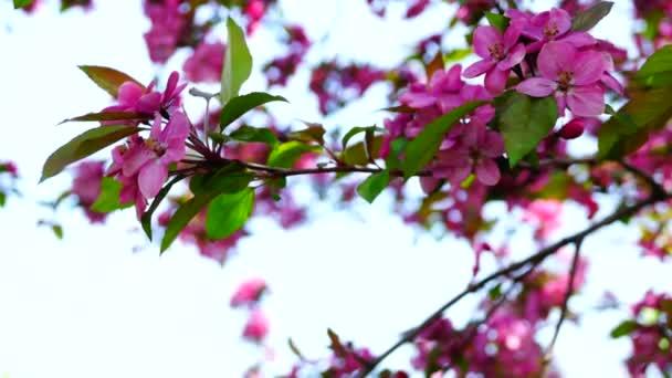 Růžový vosk Třešňové květy kvetoucí v jarní vítr