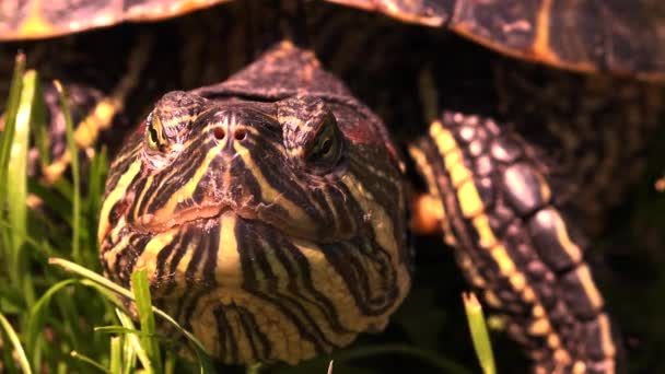 Zblízka želví hlavy a očí, pomalu bliká