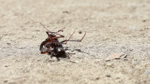 Ants Moving Dead Beetle
