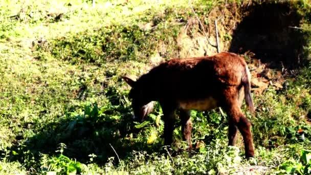 Szamár eszik füvet, egy dombon, séta, szamár legeltetés, legeltetés a legelőn