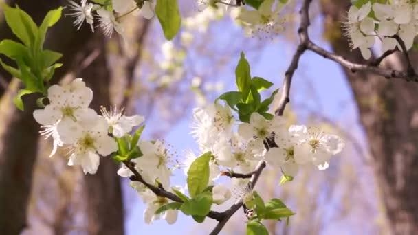 Vosk třešňový květ