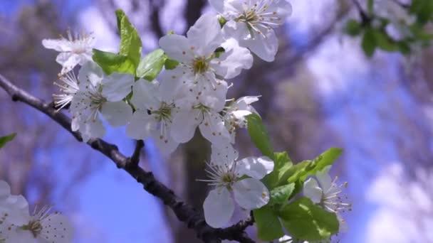 Wax Cherry Blossom