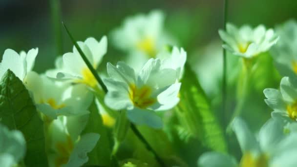 Primrose (Primula Acaulis)
