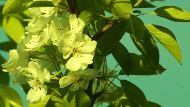 Slunce svítilo do květu jabloně