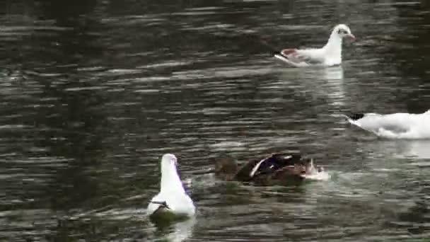 Female Mallard Duck and seagulls swimming
