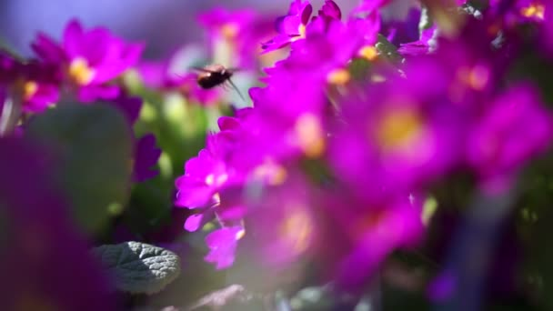 Bumble Bee Collects Nectar In Purple Flowers At Spring Herb Garden.A bumblebee, also written bumble bee, is a member of the bee genus Bombus, in the family Apidae.