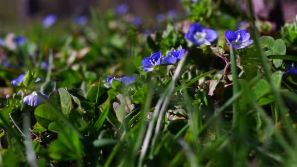 Malé modré květy na jaře slunce.