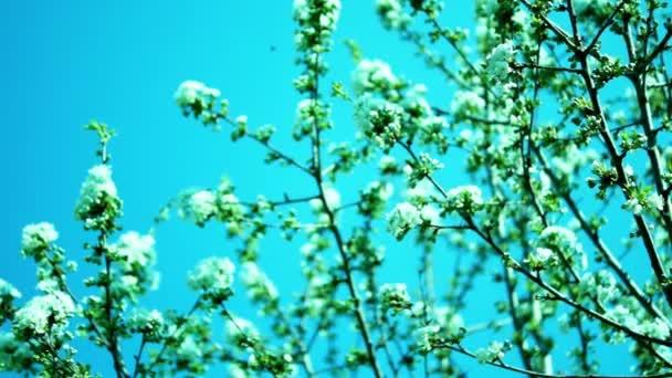 Cherry Blossom in April