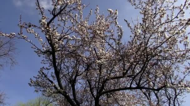 Vosk třešňového květu, otáčení