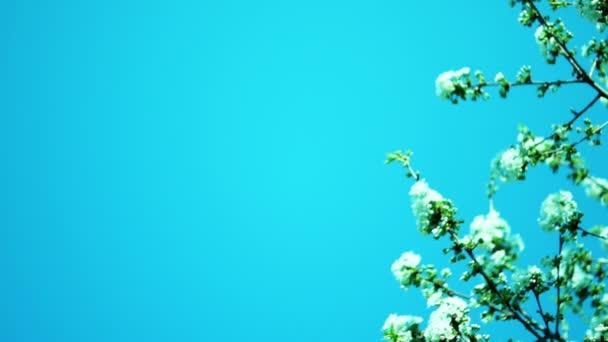 třešňový květ v dubnu