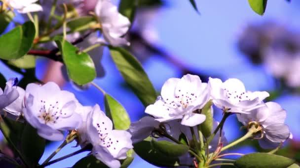 Jabloňové květy modré obloze