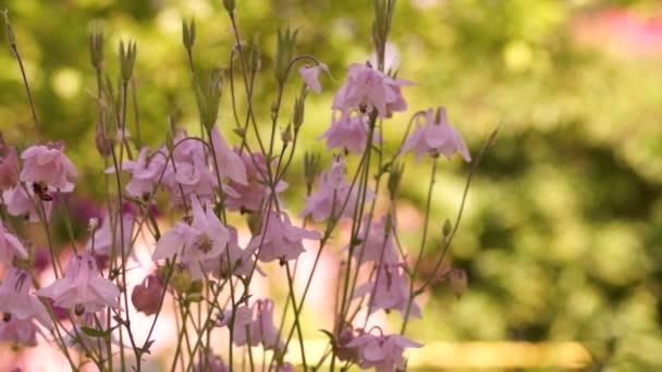 Pink bell shaped flowersaquilegia vulgaris or european columbinein pink bell shaped flowersaquilegia vulgaris or european columbinein wind sound mightylinksfo Choice Image